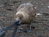 Skua-nibbles-on-bag-IMG_7124-Whalers-Bay-Deception-Is-South-Shetlands-15-March-2011.jpg