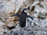 Chinstrap-with-wings-open-IMG_5516-Orne-Bay-14-March-2011.jpg