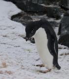 Adelie-Penguin-bending-IMG_2174-Peterman-Island-11-March-2011.jpg