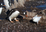 Gentoo-protects-dead-chick-from-skua-from-a-Sheathbill-IMG_3634-12-March-2011.jpg