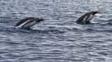 Gentoo-preparing-to-porpoise-IMG_5820-Kuverville-14-March-2011.jpg