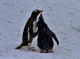 Gentoo-Penguins-IMG_2618-Peterman-Island-11-March-2011.jpg