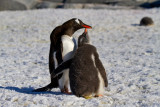 Gentoo-adult-and-begging-chick-IMG_4065-Port-Lockroy-area-12-March-2011.jpg