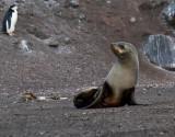 Antarctic-Fur-Seal-IMG_6212-Baily-Head-Deception-Island-South-Shetland-15-March-2011.jpg