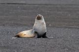 Antarctic-Fur-Seal-IMG_6956-Whalers-Bay-Deception-Island-15-March-2011.jpg
