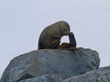 Antarctic-Fur-Seal-young-male-IMG_5138-near-Cuverville-14-March-2011.jpg