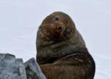 Antarctic-Fur-Seal-male-IMG_5204-Orne-Bay-14-March-2011.jpg