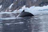 Humpback-Whale-fin-IMG_5125-Neko-Harbor-13-March-2011.jpg