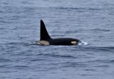 Orca-Killer-Whale-IMG_1592-Drake-Passage-10-March-2011.jpg