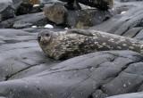 Weddell-Seal-IMG_3035-Peterman-Island-Cruise-11-March-2011.jpg