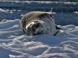 Leopard-Seal-on-Ice-Cuverville-IMG_5860.jpg
