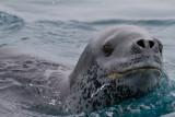 Leopard-Seal-IMG_2968-Peterman-Island-Cruise-11-March-2011.jpg