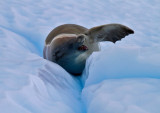 Crabeater-Seal-on-ice-floe-IMG_5043-Neko-Harbor-13-March-2011.jpg