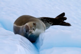 Crabeater-Seal-on-ice-floe-IMG_5010-Neko-Harbor-13-March-2011.jpg
