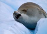 Crabeater-Seal-mouth-open-IMG_5024-Neko-Harbor-13-March-2011.jpg