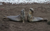 Elephant-Seals-practicing-squaring-up-IMG_7773-Hannah-Point-Deception-Island-South-Shetland-15-March-2011.jpg