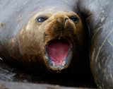 Pup-Southern-Elephant-Seal-IMG_7425-Hannah-Point-Livingston-Is-South-Shetlands.jpg
