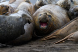 Pile-of-angry-Southern-Elephant-Seals-IMG_7543-Hannah-Point-Livingston-Is-South-Shetlands-15-March-2011.jpg
