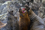 Three-Southern-Elephant-Seals-get-aggressive-IMG_7590-Hannah-Point-Livingston-Is-South-Shetlands-15-March-2011.jpg