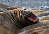 Southern-Elephant-Seal-rage-face-IMG_7471-Hannah-Point-Deception-Island-South-Shetland-15-March-2011.jpg