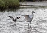 Reddish Egret and Willet