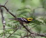 Townsend's Warbler x Black-throated Green Warbler Hybrid (?)