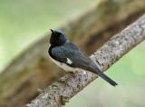 Black-throated Blue-Warbler