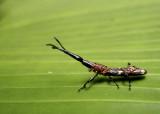 Beetle: Brentidae sp.? (Ecuador)