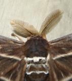 Hercules or Atlas Moth                             (Papua New Guinea)