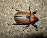 Beetle sp. (Ecuador)
