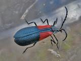 ool-Beetle-DSCN1847-Chical-Road-1-August-2011.jpg