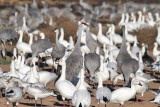 Sandhill Cranes and Snow Geese