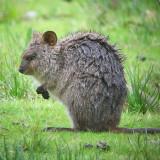 AUSTRALIA: Mammals