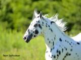 chevaux__horse