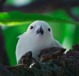 White Fairy Tern (Manu-o-ku)