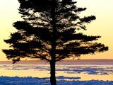Le conifère devant la mer de glace