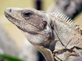 L'Iguane de Tulum