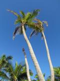 Cocotiers en contre-plongée