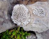 Corail fossilisé