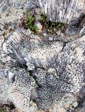 corail en nid d'abeilles