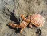 Carcasse de crabe