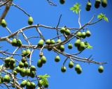 L'arbre sans feuille plein de fruits