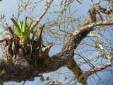 plante aerienne du type broméliacée