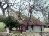 La case à l'arbre aux fleurs oranges