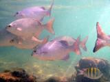 Parmi les poissons des Caraïbes