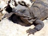 Iguane bronzant