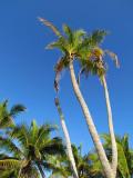 cocotiers sur fond bleu