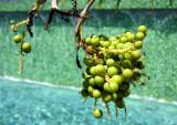petits fruits verts