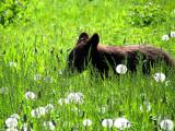 L'ourson du Parc Forillon