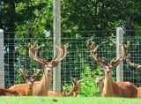 Cerfs en captivité
